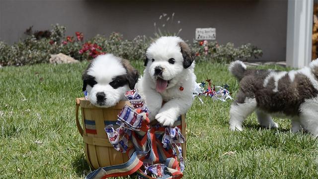 5 St. Bernard Puppies In A Basket