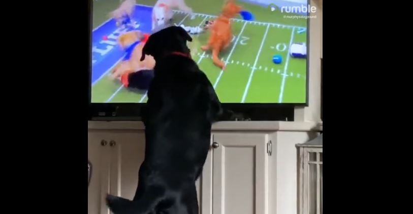 Pup spectates the 'Puppy Bowl' with great enthusiasm