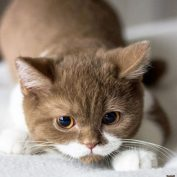 This Adorable French Kitten Is Winning Hearts With His Perfect Mustache