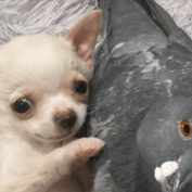 Pigeon that can't fly and tiny chihuahua who can't walk become best friends