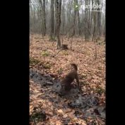 Pup dives face first into puddle of mud