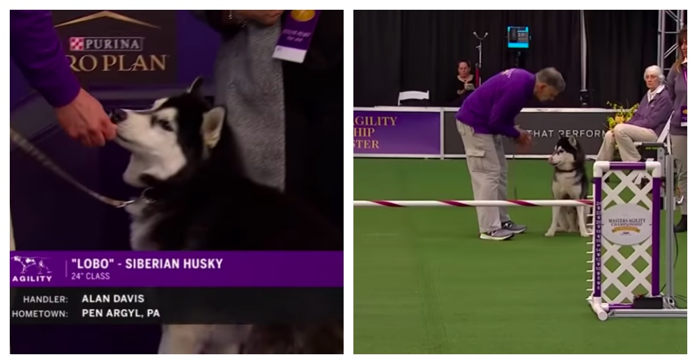 Siberian Husky Wins Over The Crowd As He Goes Off Track During Agility Run At Westminster