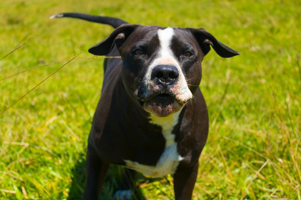 Denver's 30-Year Ban On Pit Bulls Is Coming To An End