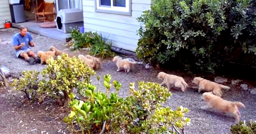 "Golden Retriever Puppies Gang Up To ""Attack"" Man, He Happily Volunteers As Their ""Victim"""
