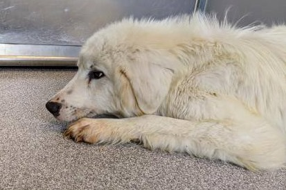 Greta: Beautiful Great Pyrenees stuck in Texas shelter with no interest