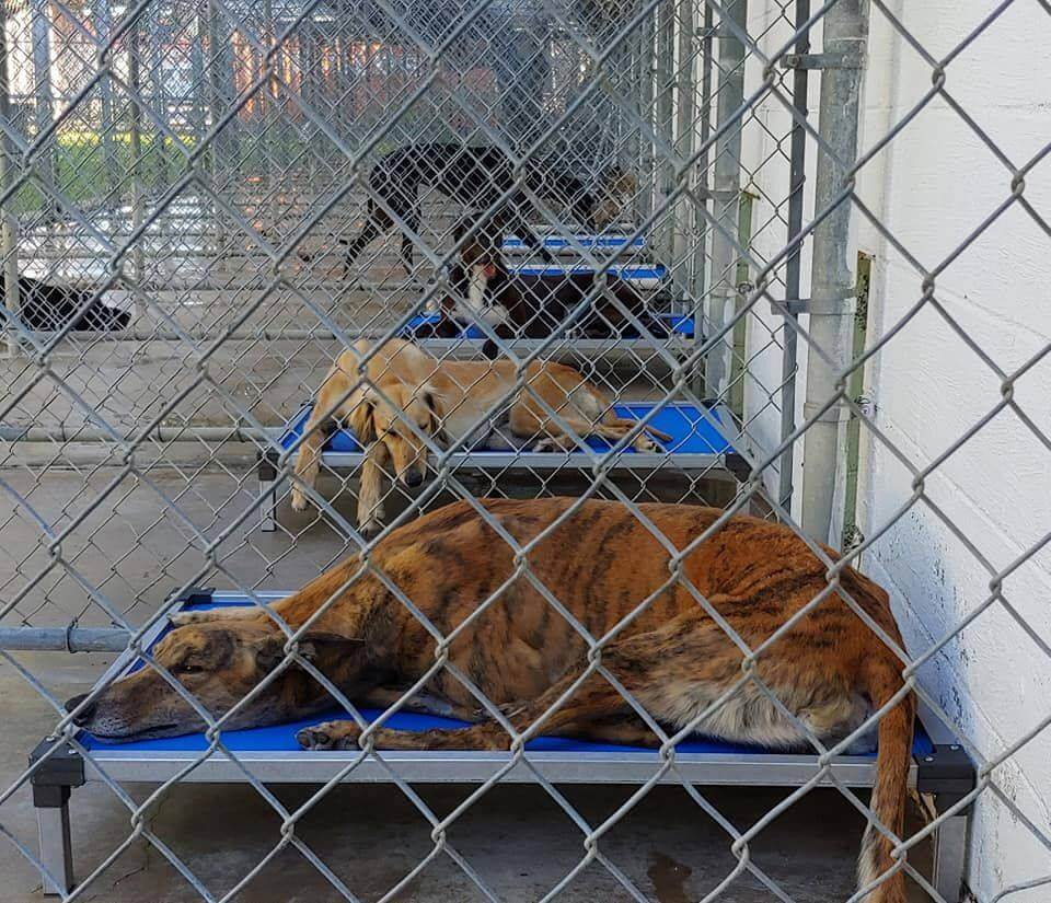 Pandemic spells crisis for racing greyhounds who need homes