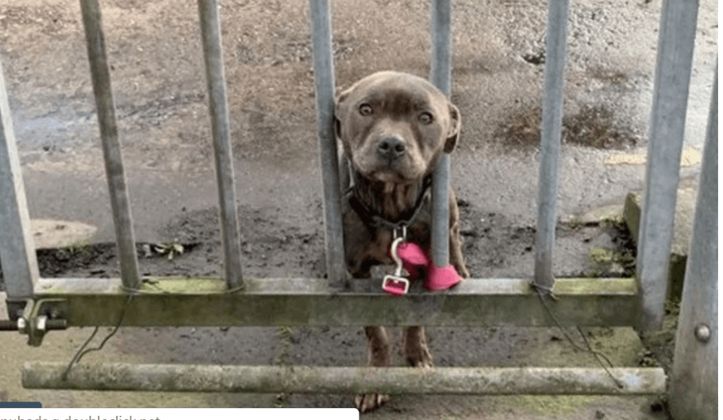 Heartbreaking stare as abandoned dog left tied to metal gate