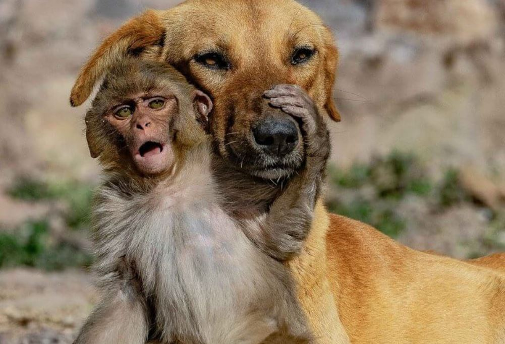 Pregnant dog adopts 10-day-old orphaned monkey after its mother poisoned