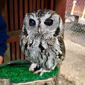 Meet Zeus, The Blind Rescue Owl With Twinkling Galaxies In His Eyes