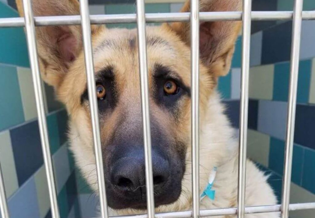 Last call – homeless German shepherd out of time at busy shelter