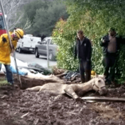 O boy! Horse stuck in muddy hole for two hours rescued