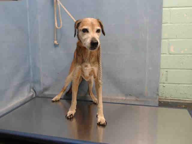 Left behind: 13-year-old Lab surrendered to shelter breaks our hearts