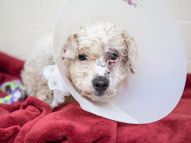 Tiny poodle shot in face with multiple metal pellets