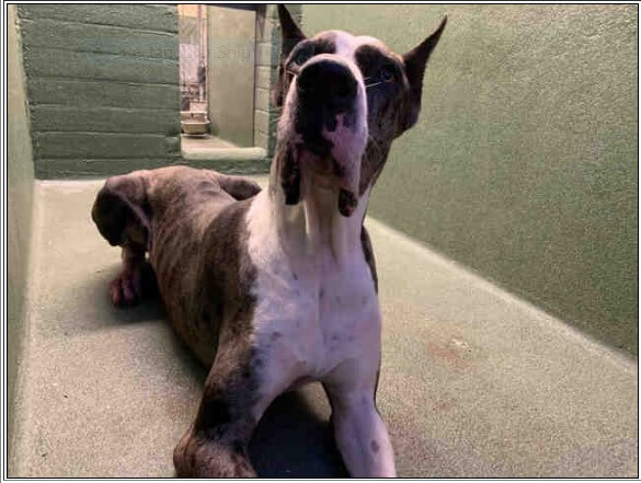 Young Great Dane found as stray in the field