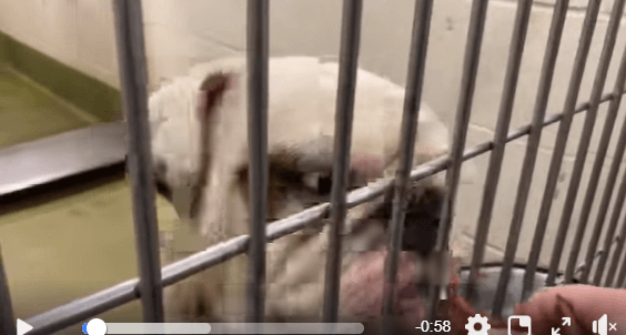 English bulldog returned to shelter because he wouldn't get out of the car