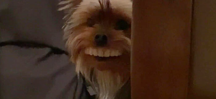 Smile: Dog steals dentures and runs around with a huge toothy grin