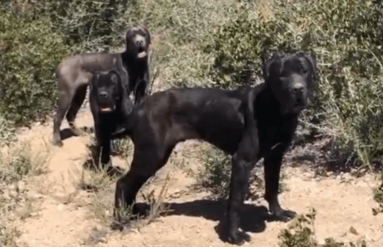 3 abandoned Mastiffs rescued after spending 2 months living in the woods