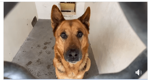 Senior shepherd forgotten at shelter after being surrendered by his family