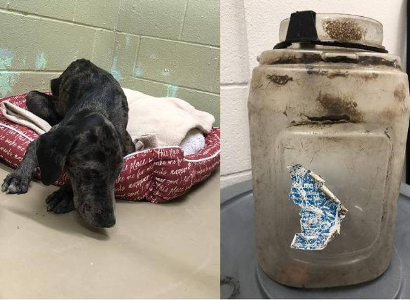 Dog rescued after having jug stuck on his head for 3 weeks