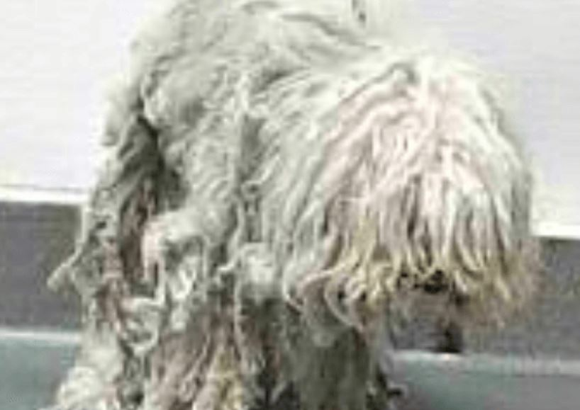 Inexcusable: Poor Maltese senior left matted and miserable at shelter