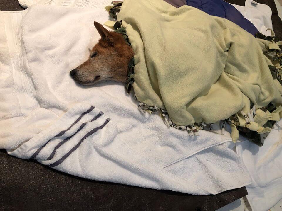 Tragic update after elderly dog rescued from storm drain