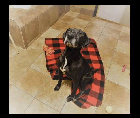 Elderly lab, in danger of being put down, waits to be saved