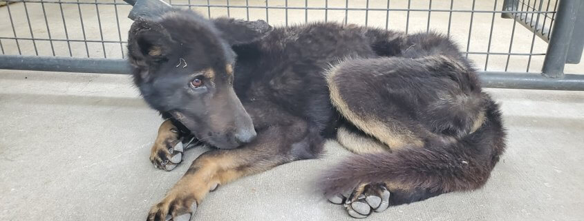 Abandoned German shepherd dog died from apparent pill overdose