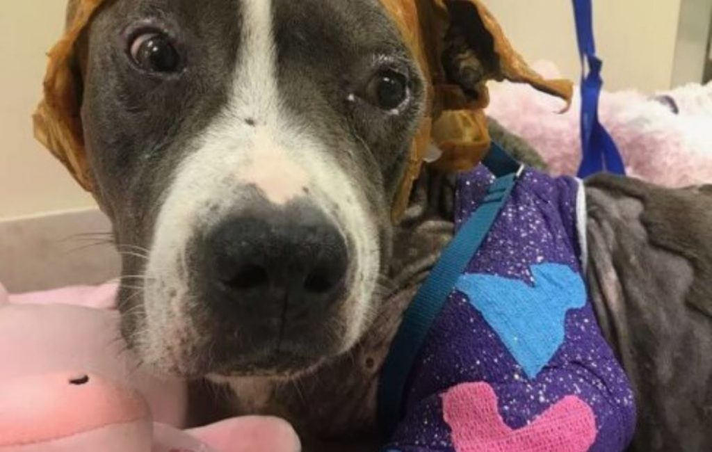 Severely injured bait dog slowly recovering in South Florida