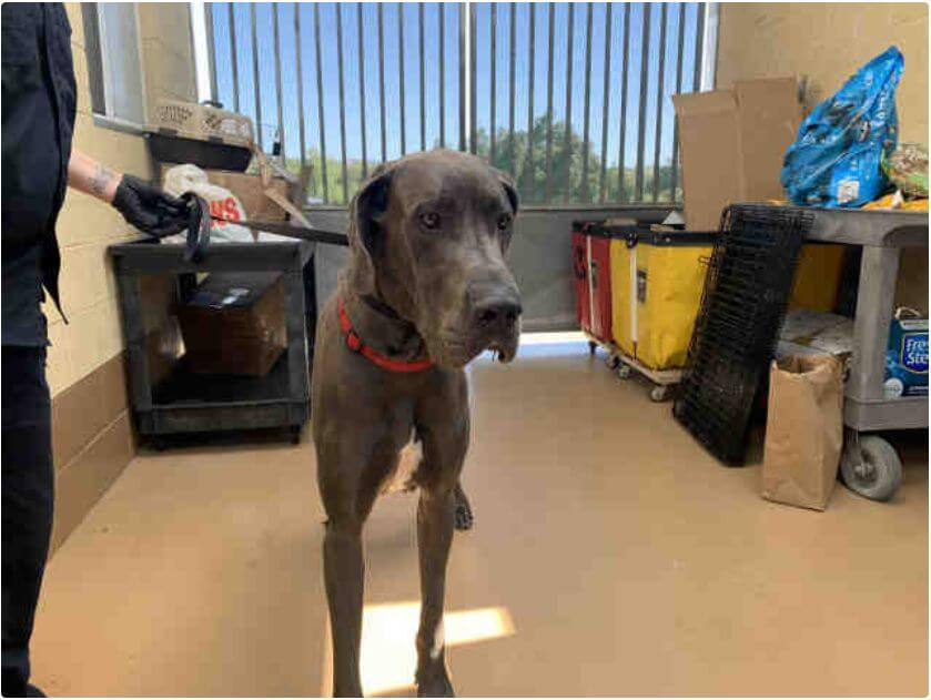 Great Dane is big and beautiful and needs someone to love