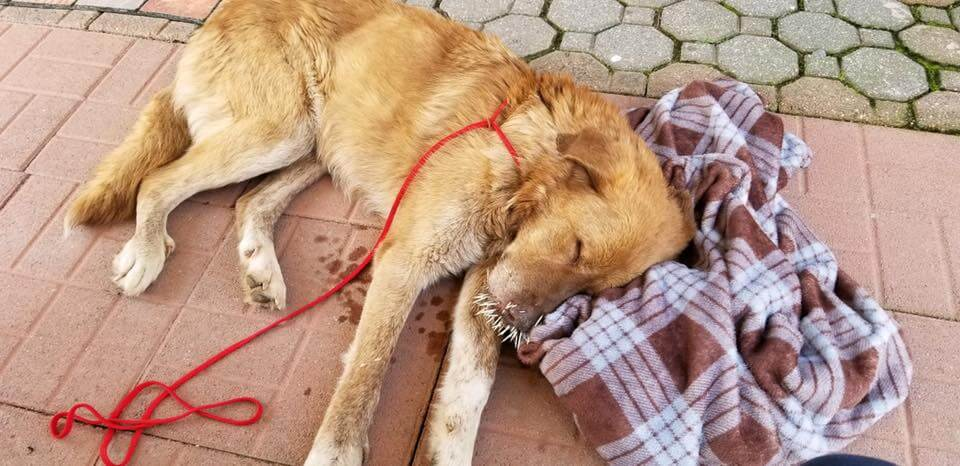 Rescued: Starving stray dogs suffering with quills in their faces