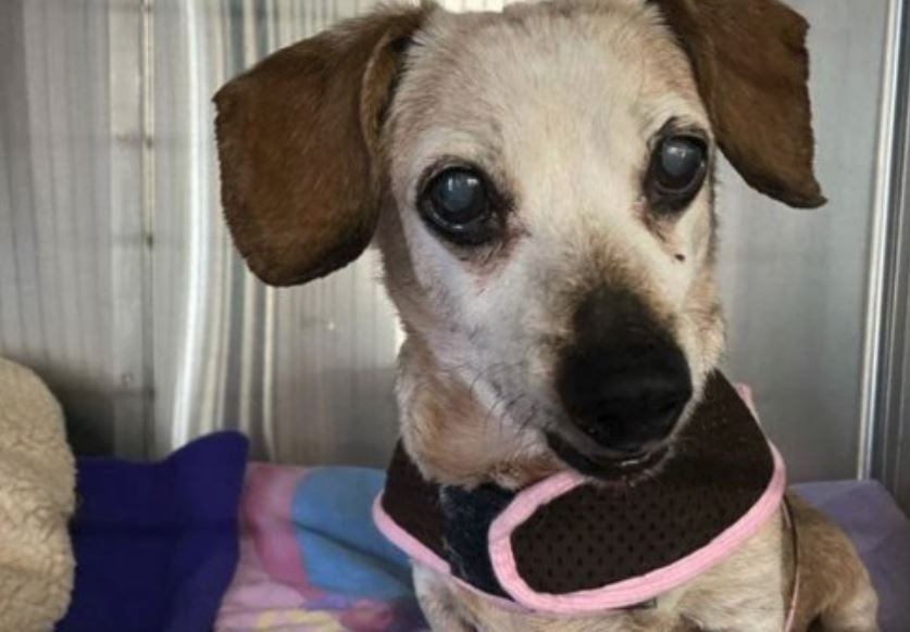 Dinky surrendered to shelter after living in one home for 17 years