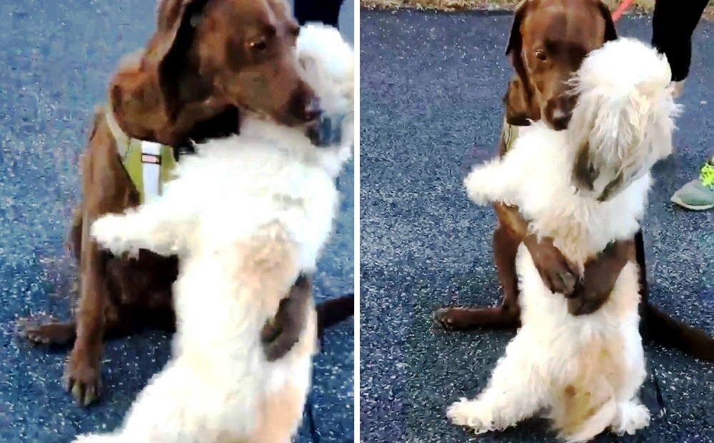 Doggie Friends Separated Due To Quarantine Hug Emotionally When They Reunite