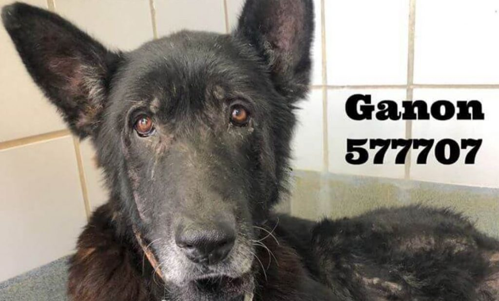 Neglected, senior German shepherd at risk of being put down