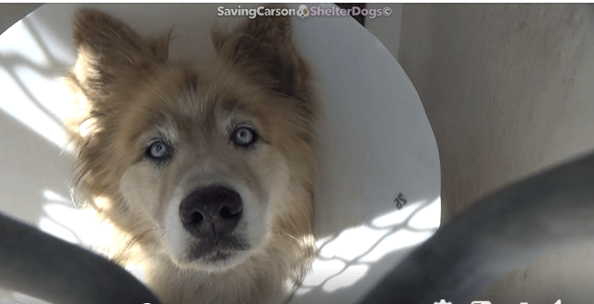 Beautiful husky stray needs his story shared to save his life from the shelter