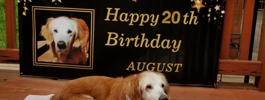 Gray-faced beauty is the oldest living golden retriever