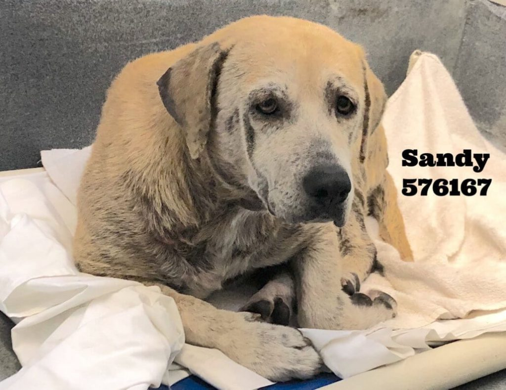 Beautiful Labrador retriever in urgent need of rescue from Texas shelter