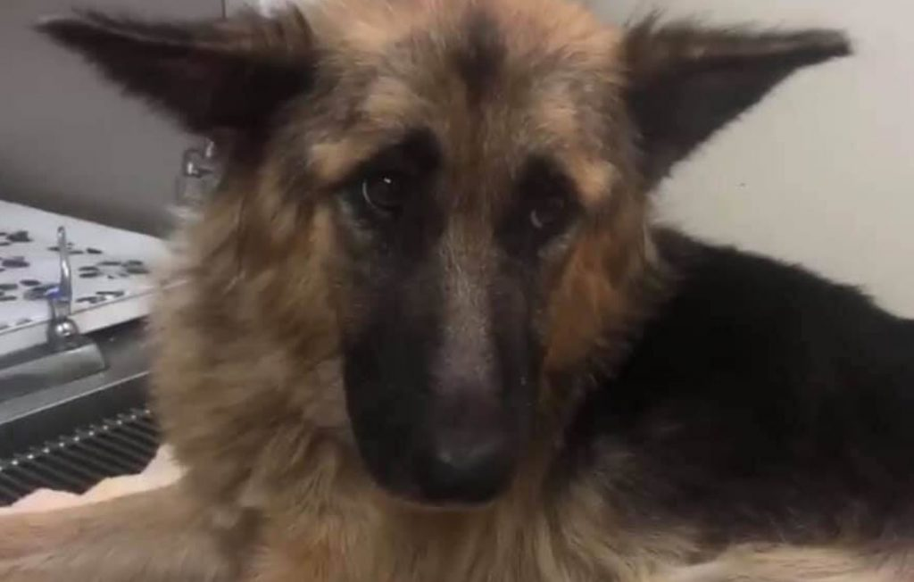Rescuers help nearly doomed German shepherd mom with 9 puppies