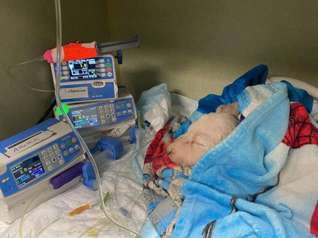 Labrador puppy slated to be euthanized continues fighting for his life