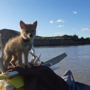 Man rescues drowning coyote pup and takes him on an adventure