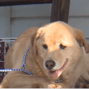 Dog walks 60 miles back to her old home