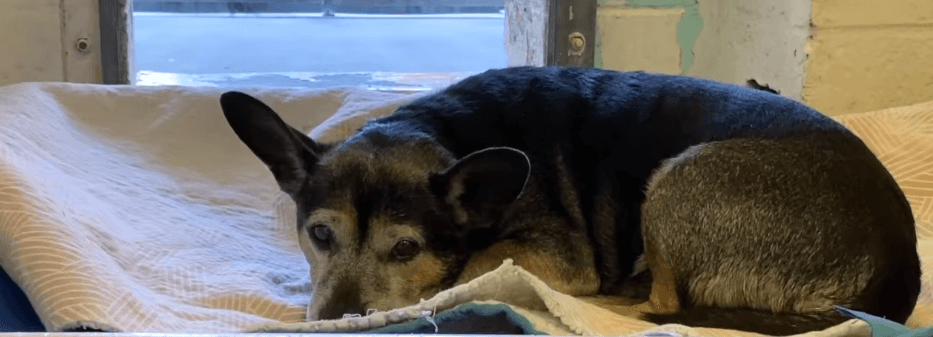 Senior dog heartbroken after being adopted and then returned to shelter