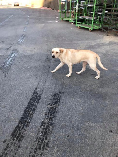 Abandoned Lab waited for days at Home Depot for her owner