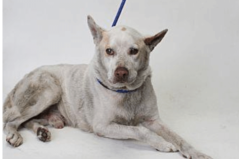 Senior dog's loyalty and wisdom has him 'code red' for 2 weeks at shelter