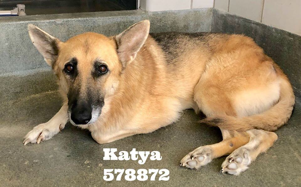 Desperately sad senior shepherd at risk at busy animal control