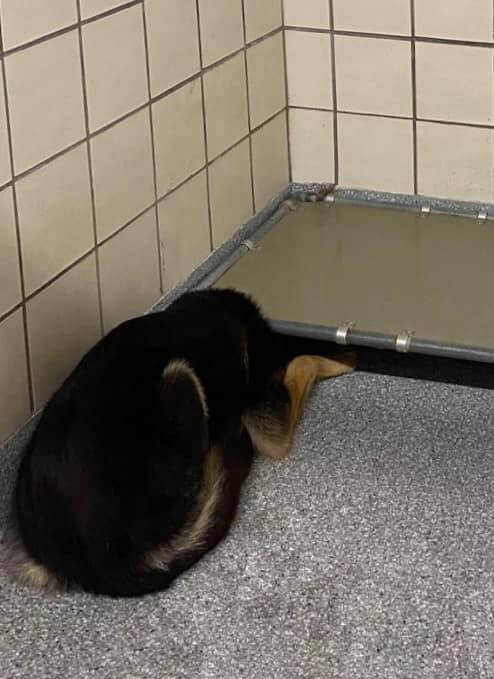 Young shepherd overwhelmed by animal shelter environment