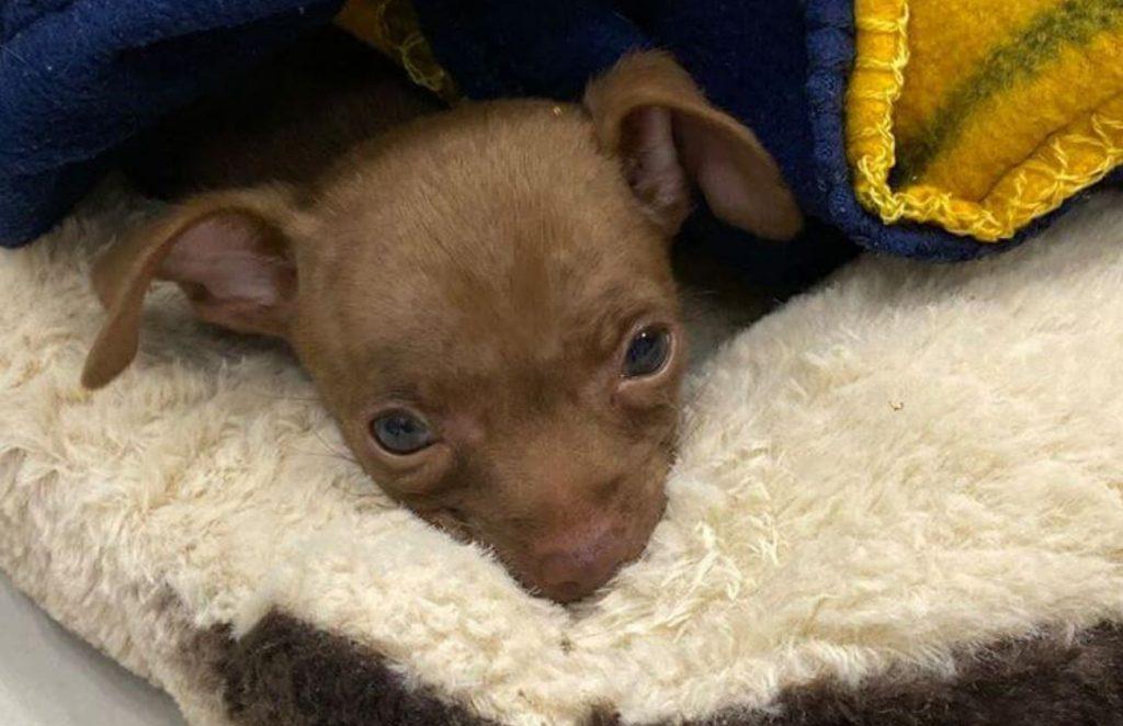Tiny three-legged puppy 'Chicken' needs special home