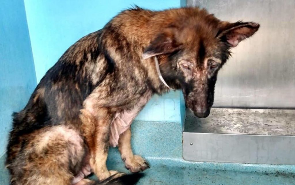 Miserable German shepherd waits to be saved from busy animal control agency