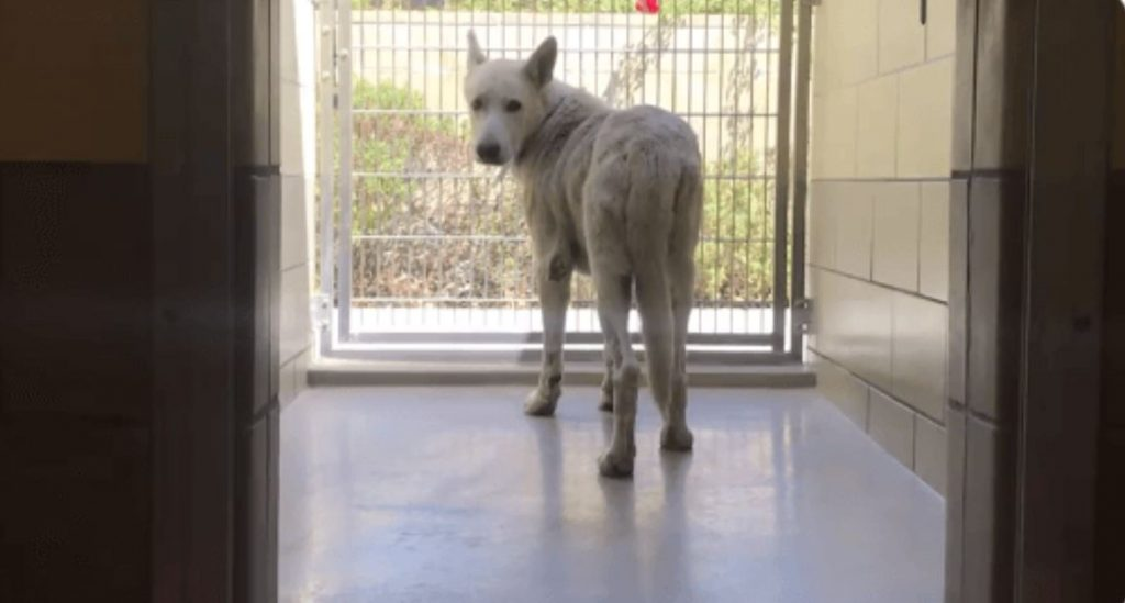 White shepherd 'Quincy' seems to be giving up at California shelter
