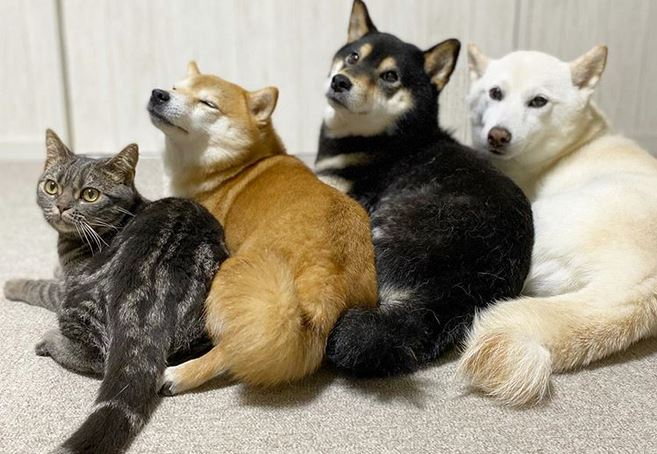 Cat Raised By Shiba Inu Siblings Thinks He's A Dog