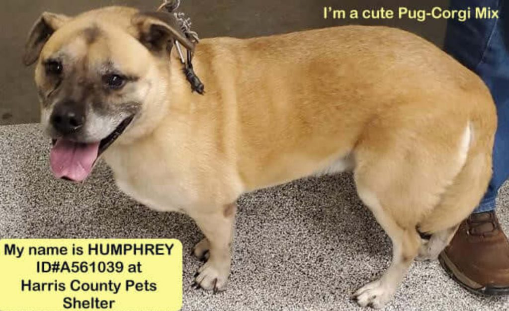 Puggle has no luck finding his owner or a home